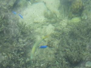 米原ビーチの魚